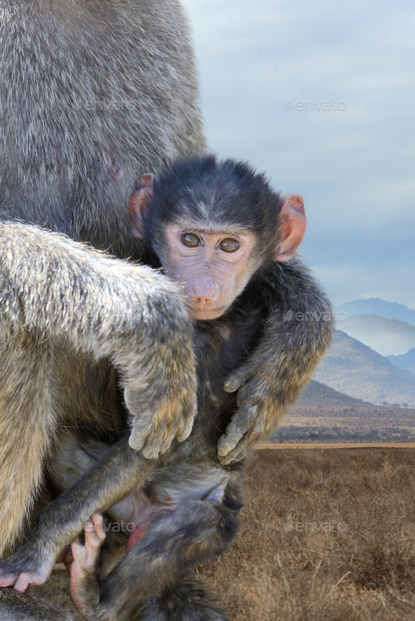 Baby monkey baboon - Stock Photo - Images