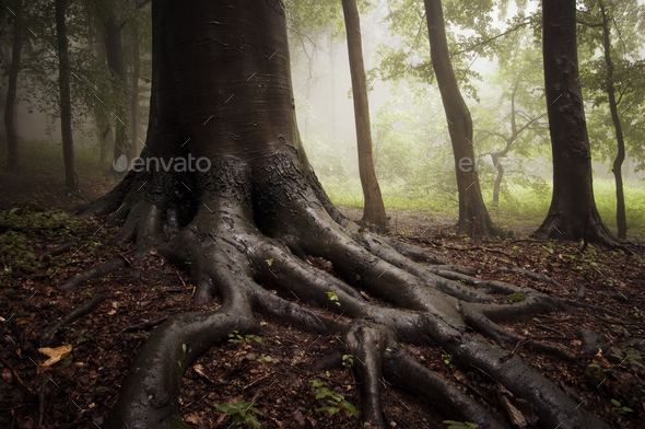 Tree with giant roots in enchanted woods - Stock Photo - Images