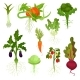 Flat Vector Set of Vegetables with Roots