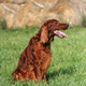 Beautiful panting hunting dog sitting in the field - PhotoDune Item for Sale