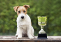 Champion dog concept - jack russell dog sitting near a winner cup - PhotoDune Item for Sale
