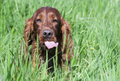 Funny happy pet dog showing his tongue - PhotoDune Item for Sale
