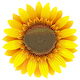 Vector Sunflower Icon - GraphicRiver Item for Sale