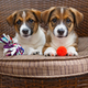 Two small puppies lying in  chair - PhotoDune Item for Sale
