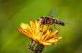 Bee collects nectar from flower crepis alpina - PhotoDune Item for Sale