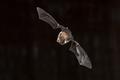 Flying Natterers bat looking down - PhotoDune Item for Sale