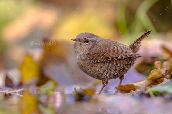 Reflection of Eurasian wren and autumn leaves - Stock Photo - Images