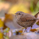 Reflection of Eurasian wren and autumn leaves - PhotoDune Item for Sale