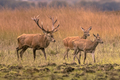 Strong red deer buck with hinds - PhotoDune Item for Sale