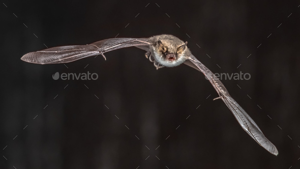 Flying bat on grey background - Stock Photo - Images