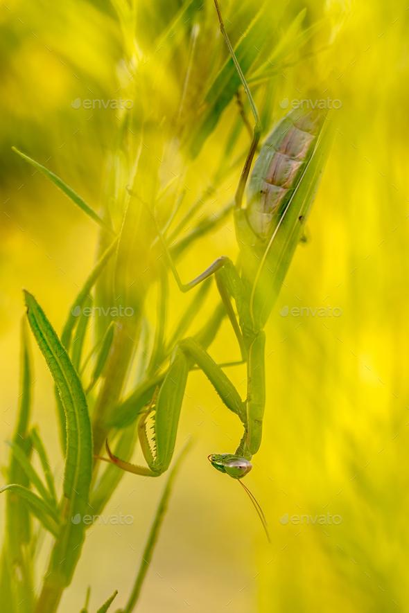 Praying mantis ambush predator - Stock Photo - Images