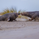Fighting Grey seal males on beach - PhotoDune Item for Sale