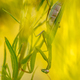 Praying mantis ambush predator - PhotoDune Item for Sale