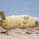 Comical Grey seal pup on beach - PhotoDune Item for Sale