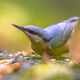 Eurasian Nuthatch autumn color leaves - PhotoDune Item for Sale