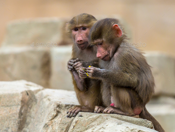 Two young Hamadryas baboons - Stock Photo - Images