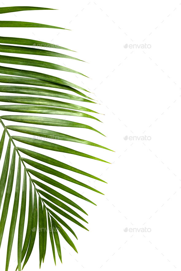 Green Leaf Of Palm Tree Isolated On White Background Stock Photo By Kjekol