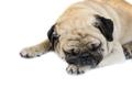 Pug dog isolated on white background - PhotoDune Item for Sale