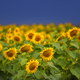 Sunflower field on the background of a dark blue storm clouds - PhotoDune Item for Sale