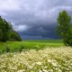 Rural field with wild chamomile and storm clouds - PhotoDune Item for Sale