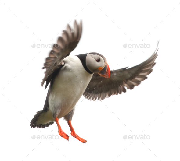 Atlantic Puffin or Common Puffin - Fratercula arctica in flight - Stock Photo - Images