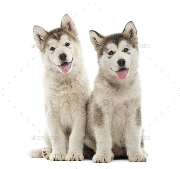 Alaskan Malamute puppies sitting and panting isolated on white - Stock Photo - Images