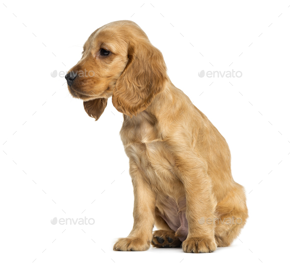 Puppy English Cocker Spaniel sitting, 9 weeks old, isolated on white - Stock Photo - Images