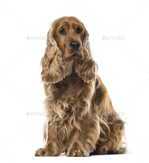 English Cocker Spaniel sitting, 2 years old , isolated on white - Stock Photo - Images