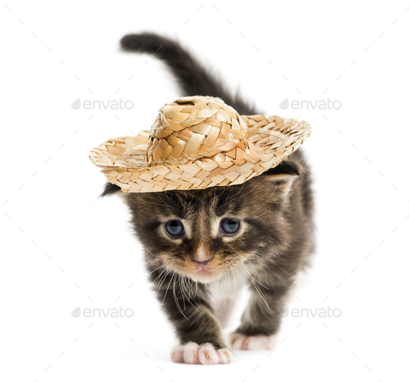 Maine coon kitten walking and wearing a hat - Stock Photo - Images