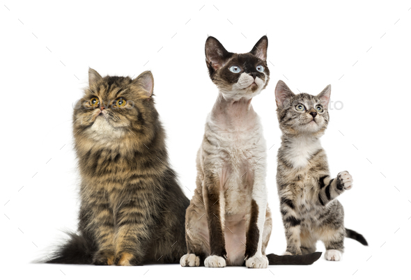Group of cats sitting, isolated on white - Stock Photo - Images