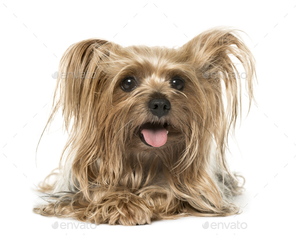 Yorkshire Terrier lying and panting, isolated on white - Stock Photo - Images