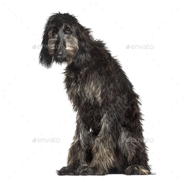 Afghan Hound sitting, 6 months old, isolated on white - Stock Photo - Images