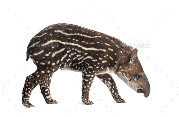 Side view of a young South american tapir sniffing, isolated on white, 41 days old - Stock Photo - Images