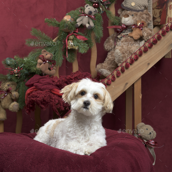 Maltese in Christmas decoration - Stock Photo - Images