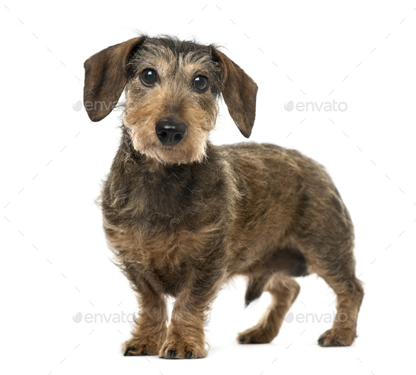 Brown Daschund standing, 11 years old , isolated on white - Stock Photo - Images