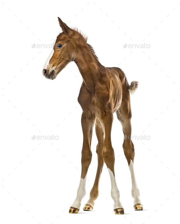 Foal looking away isolated on white - Stock Photo - Images