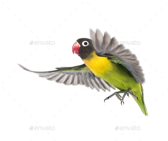 Yellow-collared lovebird flying, isolated on white - Stock Photo - Images
