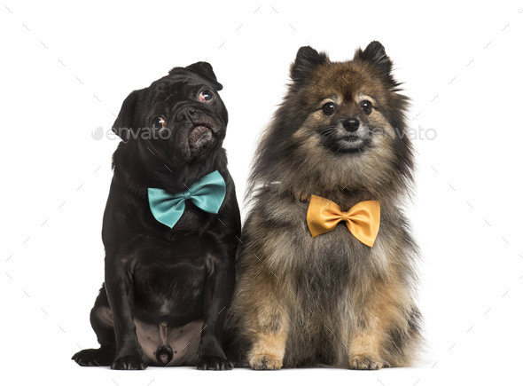 Black pug Pug with bow tie, isolated on white - Stock Photo - Images