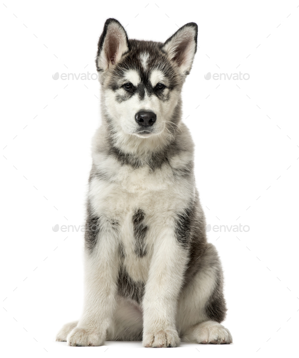 Puppy Alaskan Malamute sitting, 3 months old , isolated on white - Stock Photo - Images
