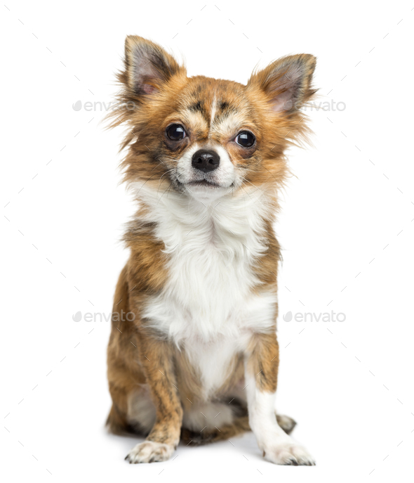 Chihuahua sitting, 8 months old, isolated on white - Stock Photo - Images