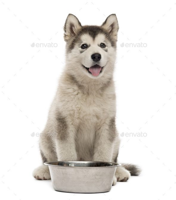 Alaskan Malamute puppy sitting with a bowl isolated on white - Stock Photo - Images