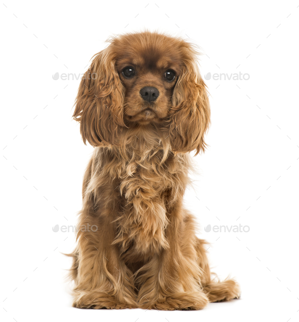Cavalier King Charles Spaniel sitting, isolated on white - Stock Photo - Images