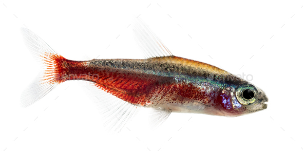 Side view of a cardinal tetra isolated on white - Stock Photo - Images