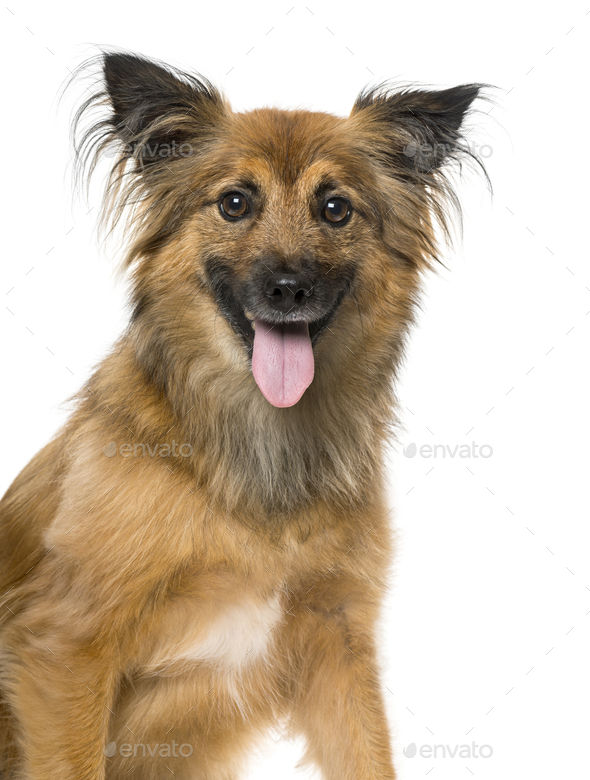 Pyrenean Shepherd panting, isolated on white,4 years old - Stock Photo - Images