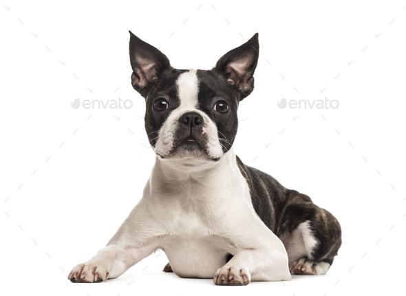 Pug lying, isolated on white - Stock Photo - Images