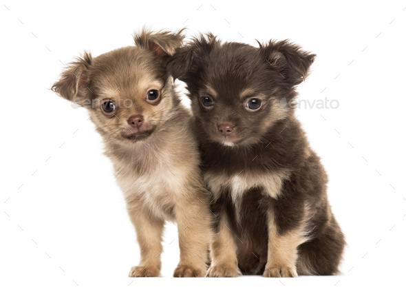 Two puppies chihuahua, 2 months sitting, isolated on white - Stock Photo - Images