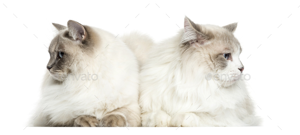 Two Ragdoll lying, 2 years old, isolated on white - Stock Photo - Images