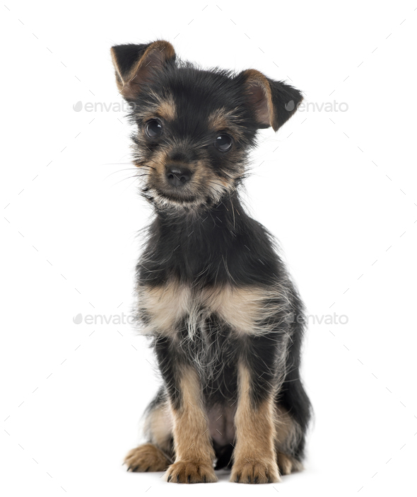 Mixed breed dog sitting, 3 months old , isolated on white - Stock Photo - Images