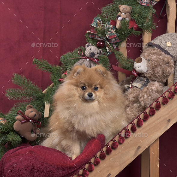 Pomeranian in Christmas decoration - Stock Photo - Images