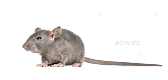 Young Hairless rat, isolated on white - Stock Photo - Images